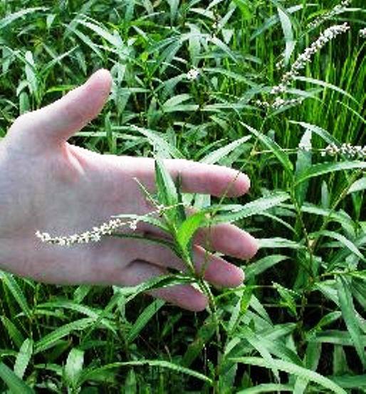 LMSLP - Shoreline Plants